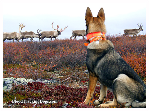 Headed north. My shepherd Elle on the tundra 2007