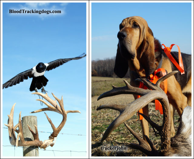 "Shady in training. Trails end with bloodhound Jesse and 203"" buck"